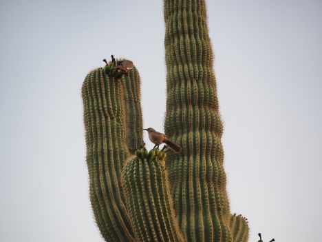 Birds nesting in saguaro